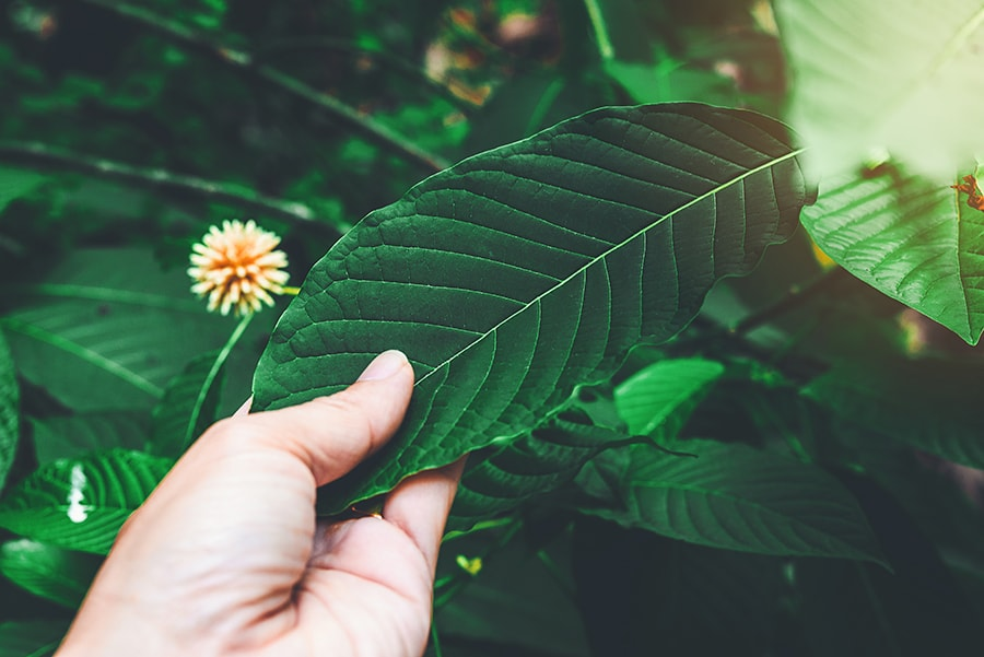 What Is Kratom